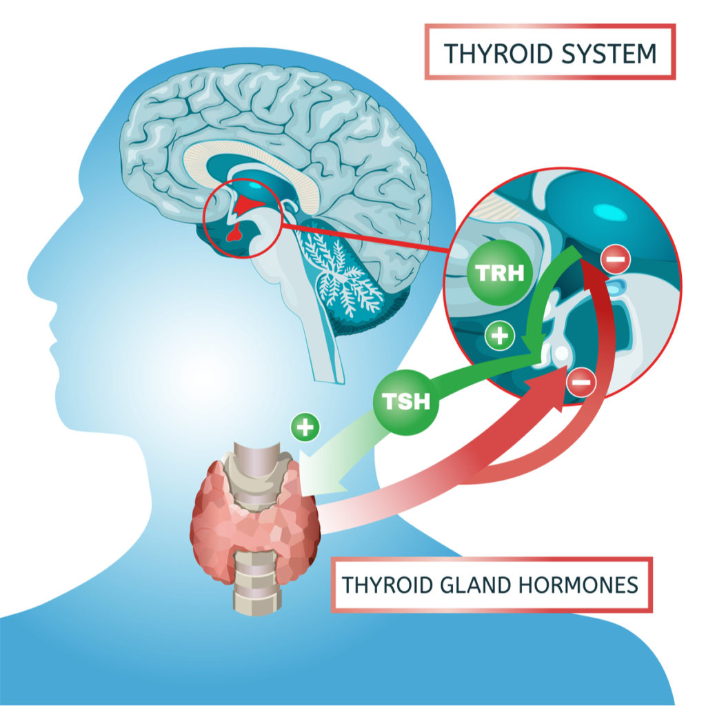 thyroid system feedback loop