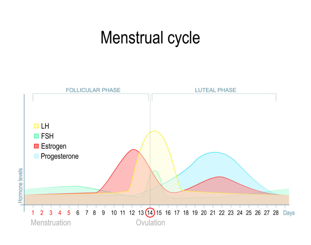 the menstrual cycle and phases