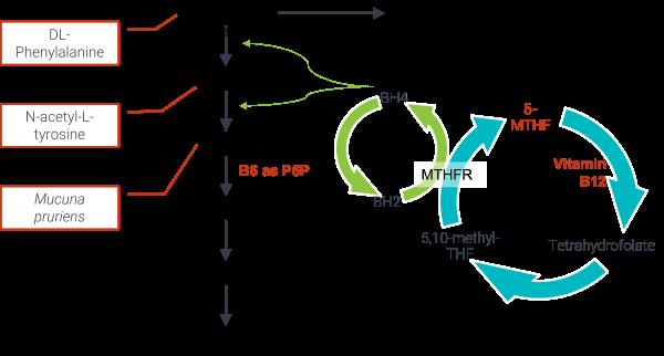 Dopamine pathway highlighting Procite-D ingredients