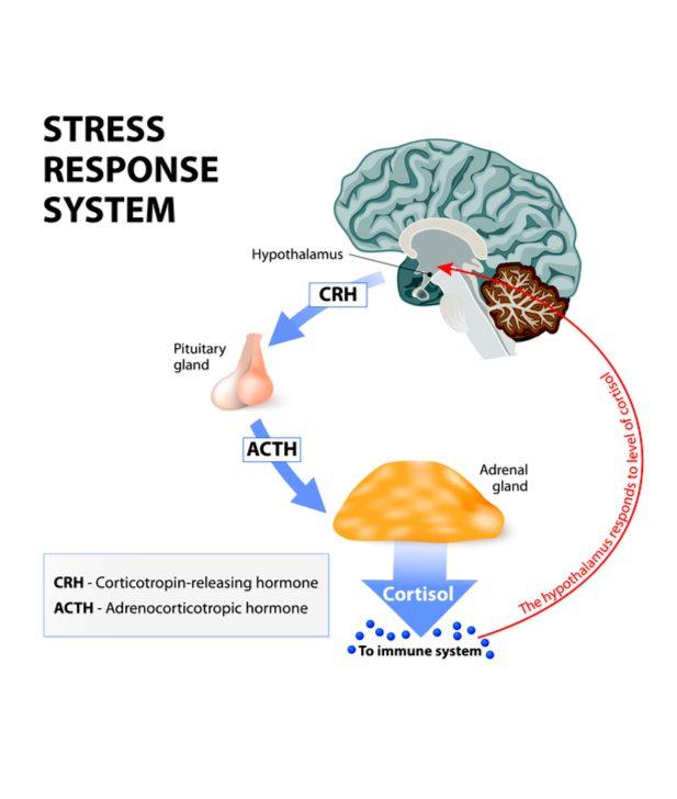 Stress Response System diagram